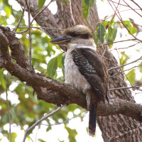 A kookaburra sitting in a tree, but not a gum tree.  Photo: Flickr Creative Commons